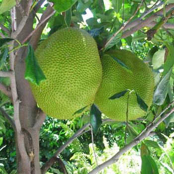 jackfruittree